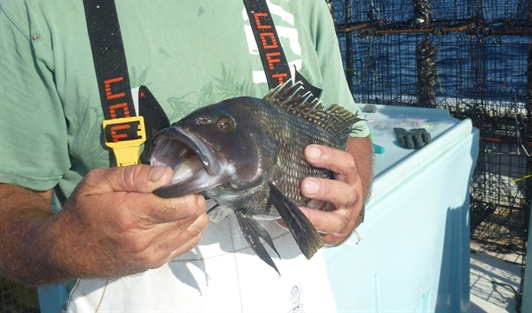 North Carolina Fisherman-Scientist Partnership Changes South Atlantic Black Sea Bass Fishery