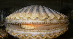 Sassy Scallops: How will shellfish fare as ocean conditions shift?