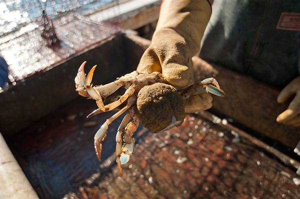 Tighter Rules Could Increase Yield and Revenues From Blue Crab Fishery, Study Finds
