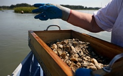 How does shellfish aquaculture interact with Puget Sound's marine life?