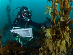 New research to address kelp forest crisis in California