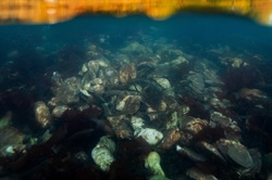 Relief that Restores: Shellfish Aquaculture