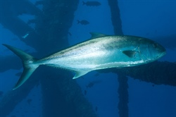 Mississippi-Alabama Sea Grant announces greater amberjack funding opportunity for Gulf of Mexico, South Atlantic regions