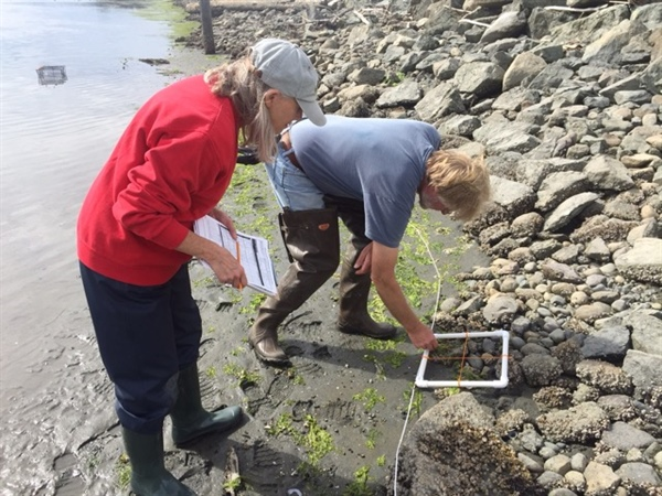 Healthy Coastal Habitats: Citizen scientists detect first invasive green crab in Washington's inland waters
