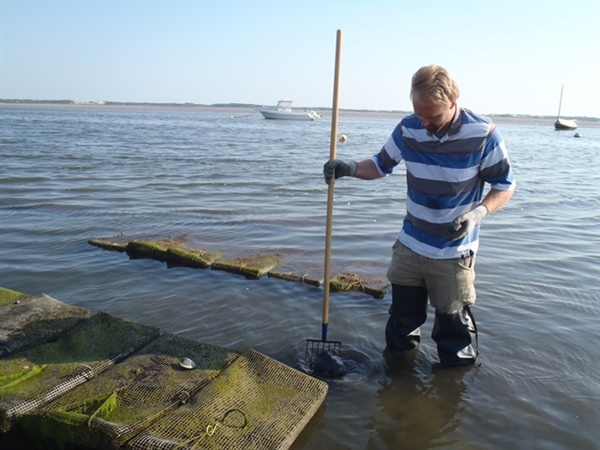 Woods Hole Sea Grant research documents first nitrogen removal by oysters in local waters