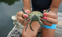 The Unexpected Tastiness of the Green Crab