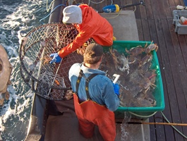 Unloading crab pots
