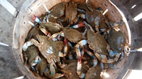 Basket full of blue crabs