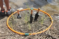Hoops are used to indicate the space used to plant groups' Spartina alterniflora seedlings