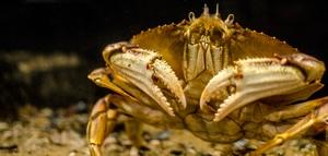 Hatfiled crab