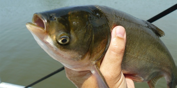New research from Michigan Sea Grant finds climate warming increases Asian carp threat to Lake...