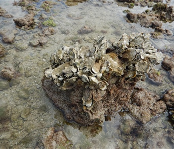 Using Remote Sensing to Study Interactions Between Oysters and Marsh Edges