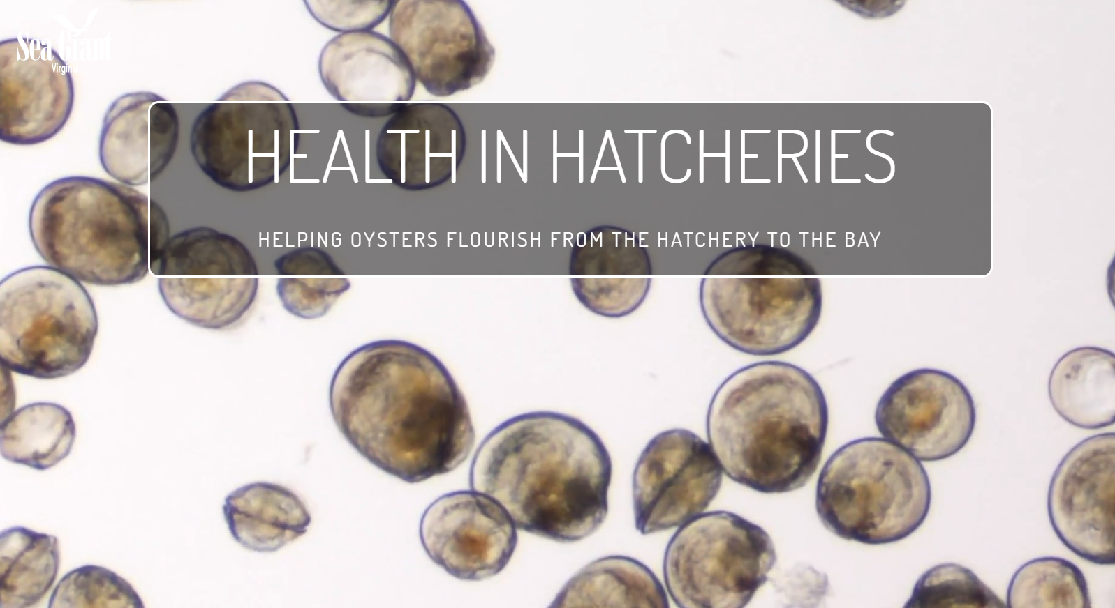 oyster hatchery health