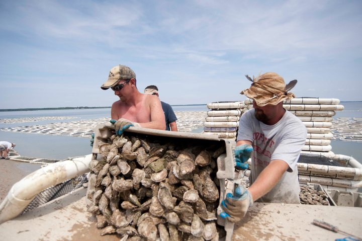 Maryland Oyster Farming (Image: Maryland Sea Grant)